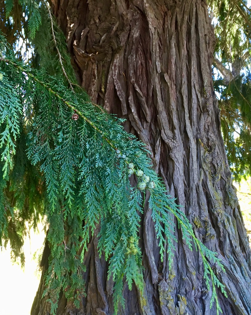 Sequoia Redwood