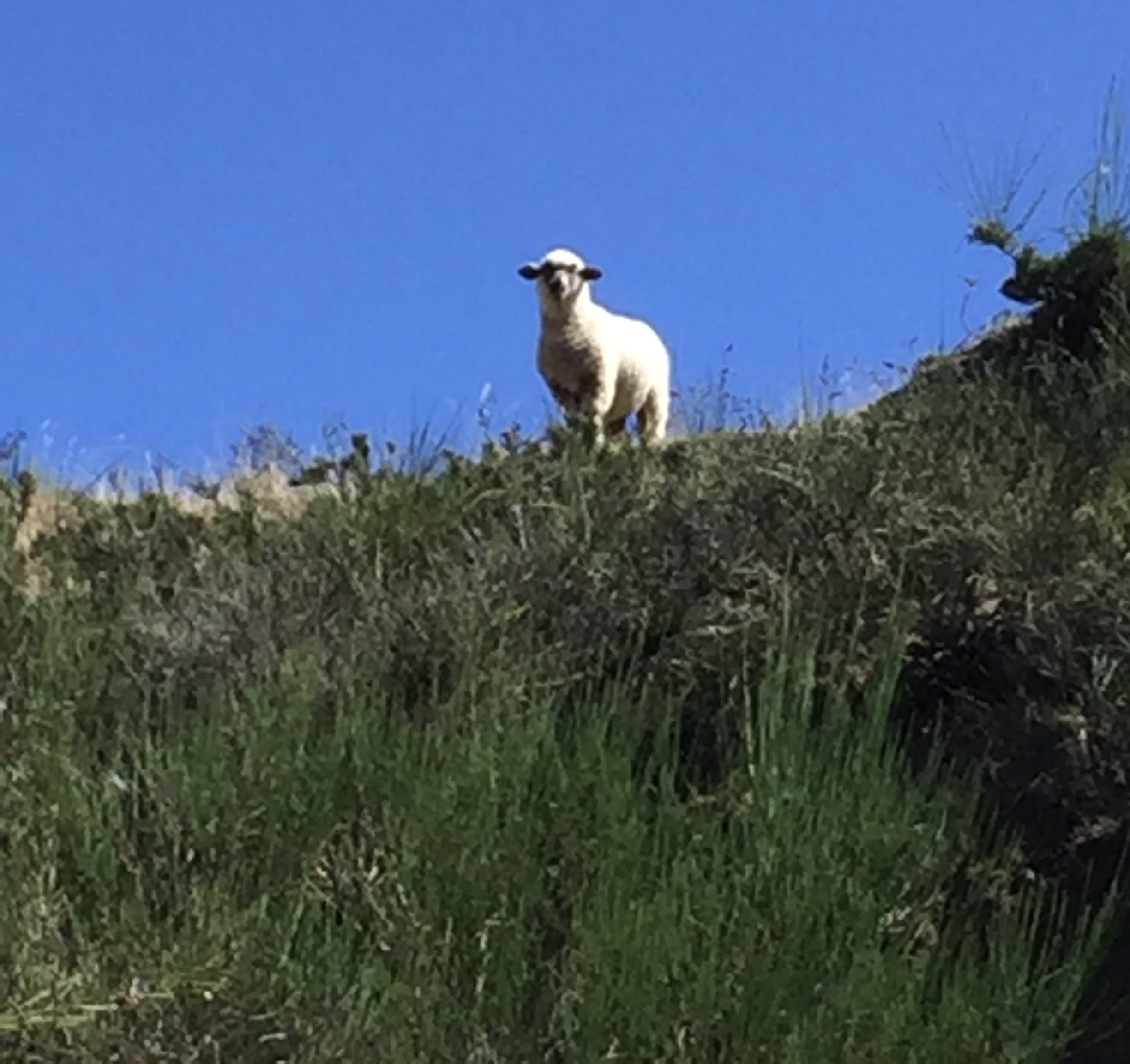 The sheep were watching us